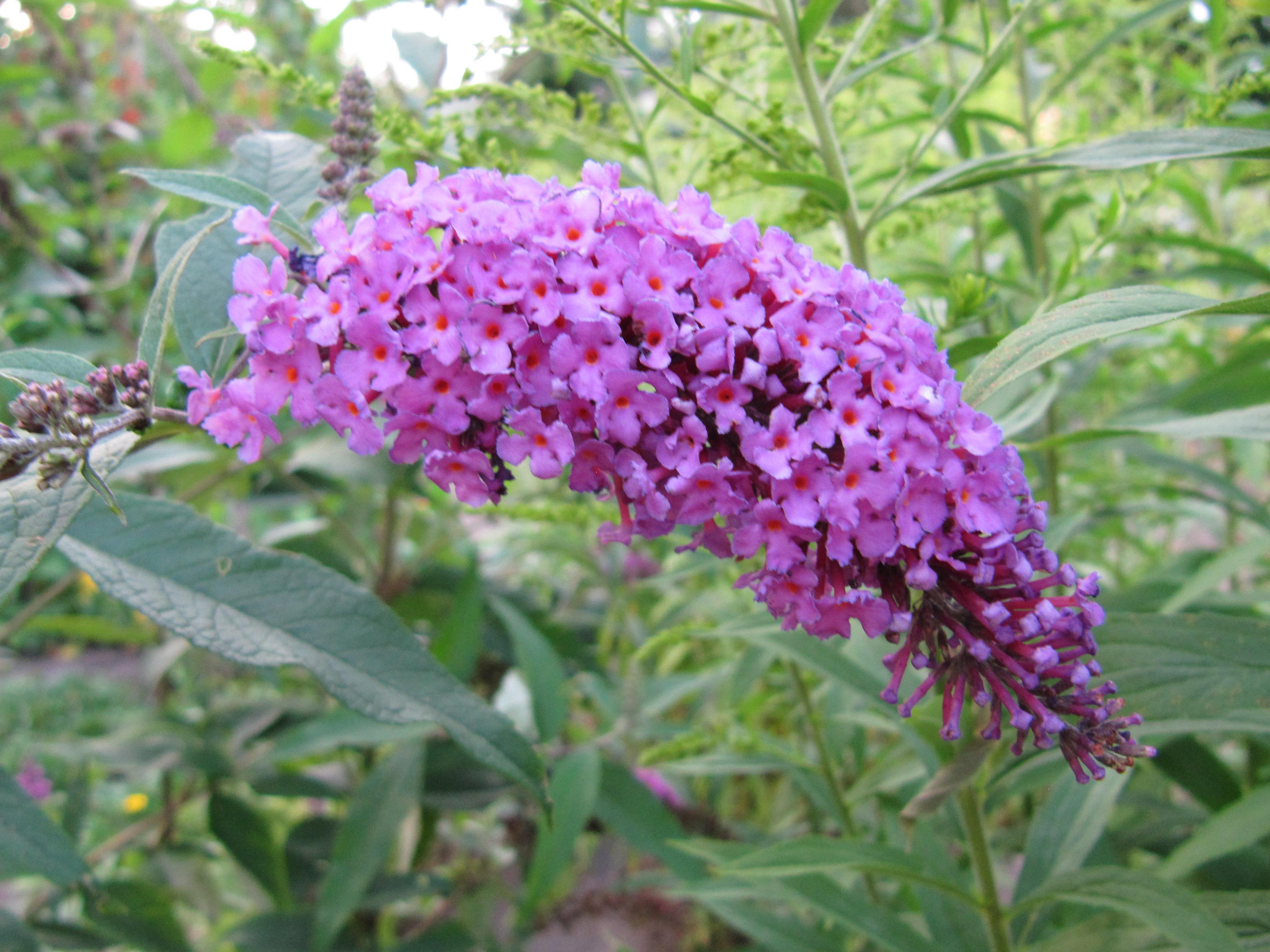 Цветок и похожие на сирень названия 17