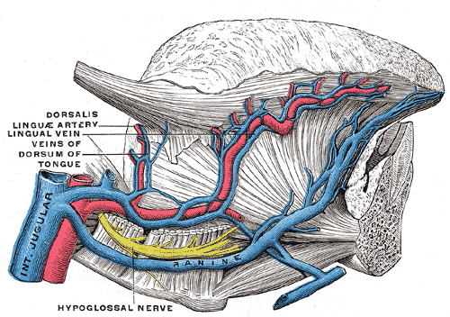 <b>舌動脈</b> - Wikipedia