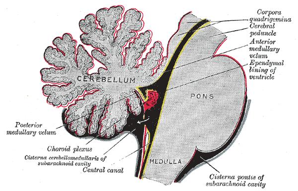 Topographische anatomie neuroanatomie hirnstamm for Floor of 4th ventricle