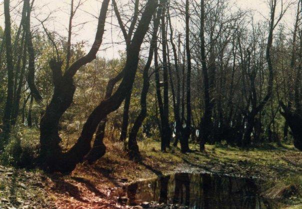 Turkish sweetgum (Liquidambar orientalis) tree grove near Dalaman