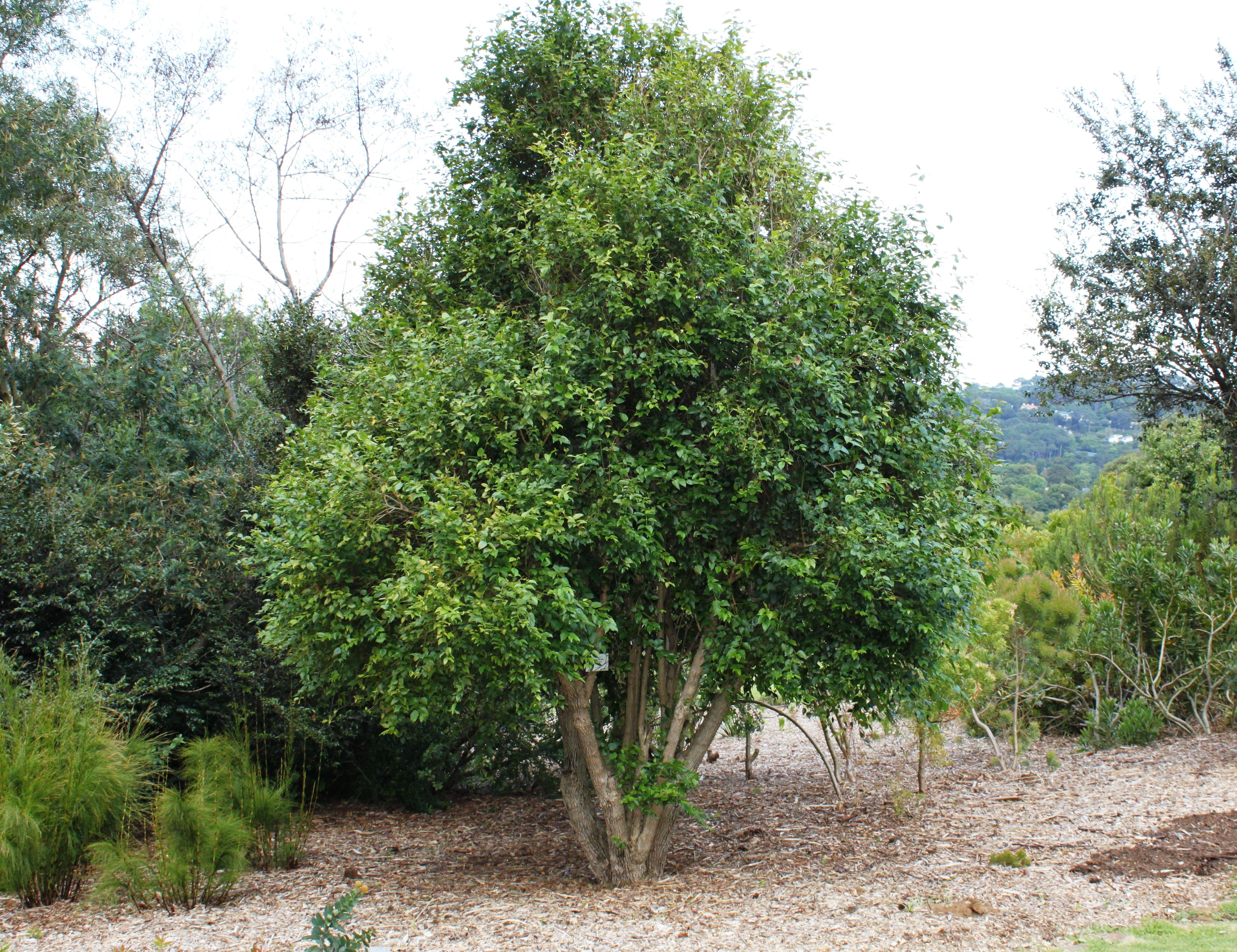 File halleria lucida tree small specimen cape town for Specimen trees