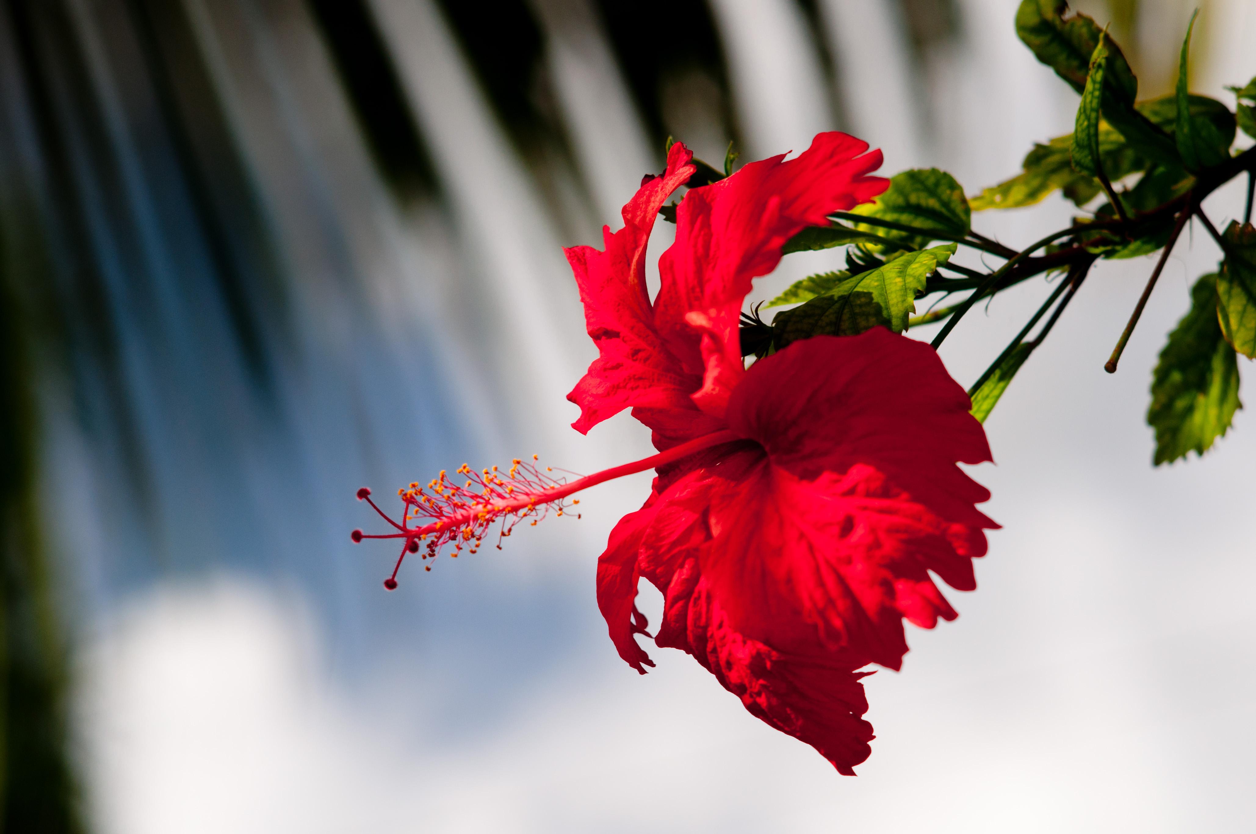 Filehibiscus flower imagicity 622g wikimedia commons filehibiscus flower imagicity 622g izmirmasajfo