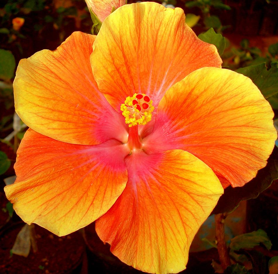 File:Hibiscus one.jpg - Wikimedia Commons