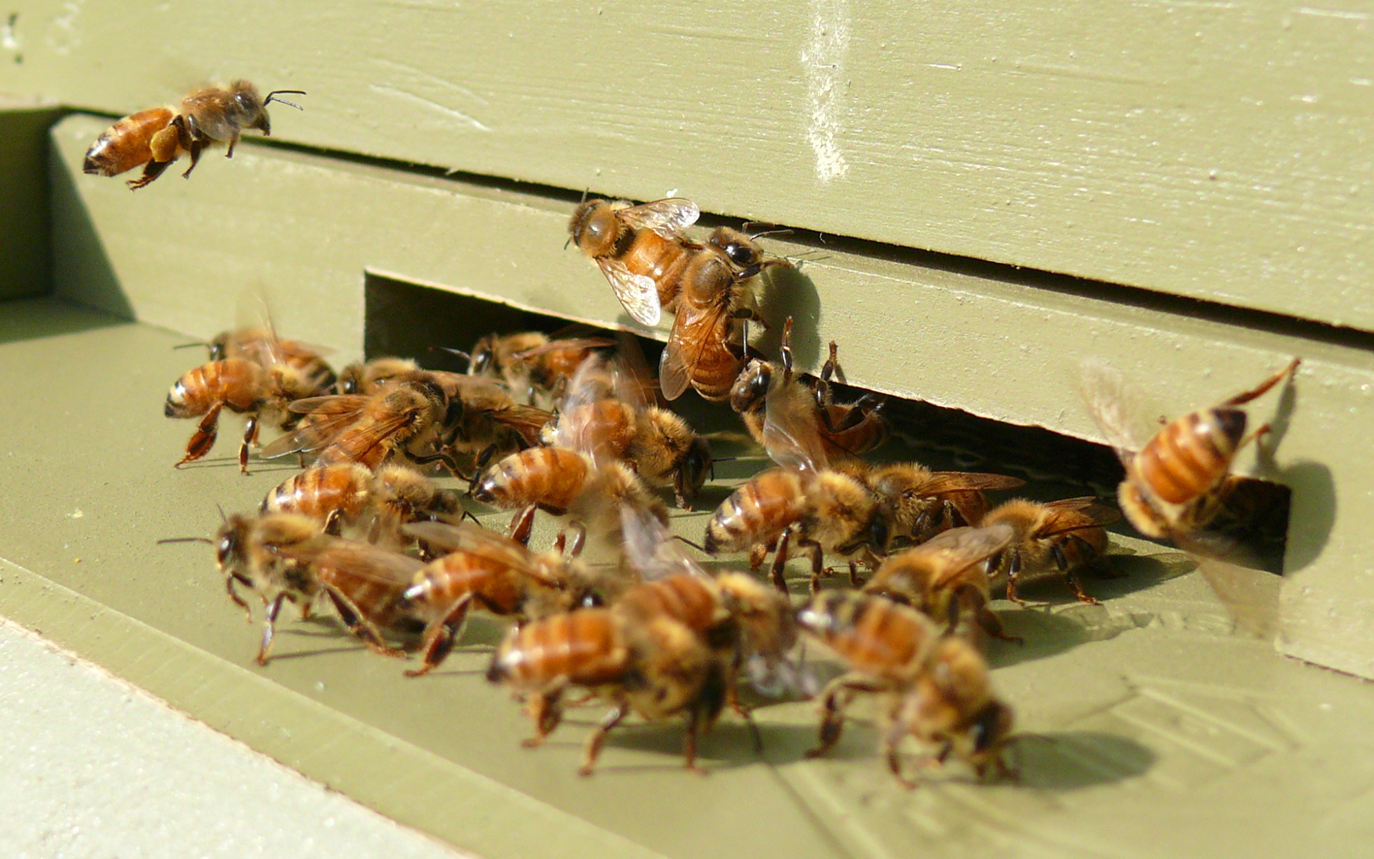 https://upload.wikimedia.org/wikipedia/commons/7/7a/Honeybees-27527-2.jpg