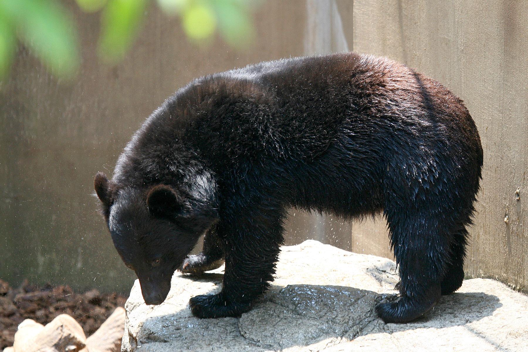 Wonderbaar Aziatische zwarte beer - Wikipedia PU-26