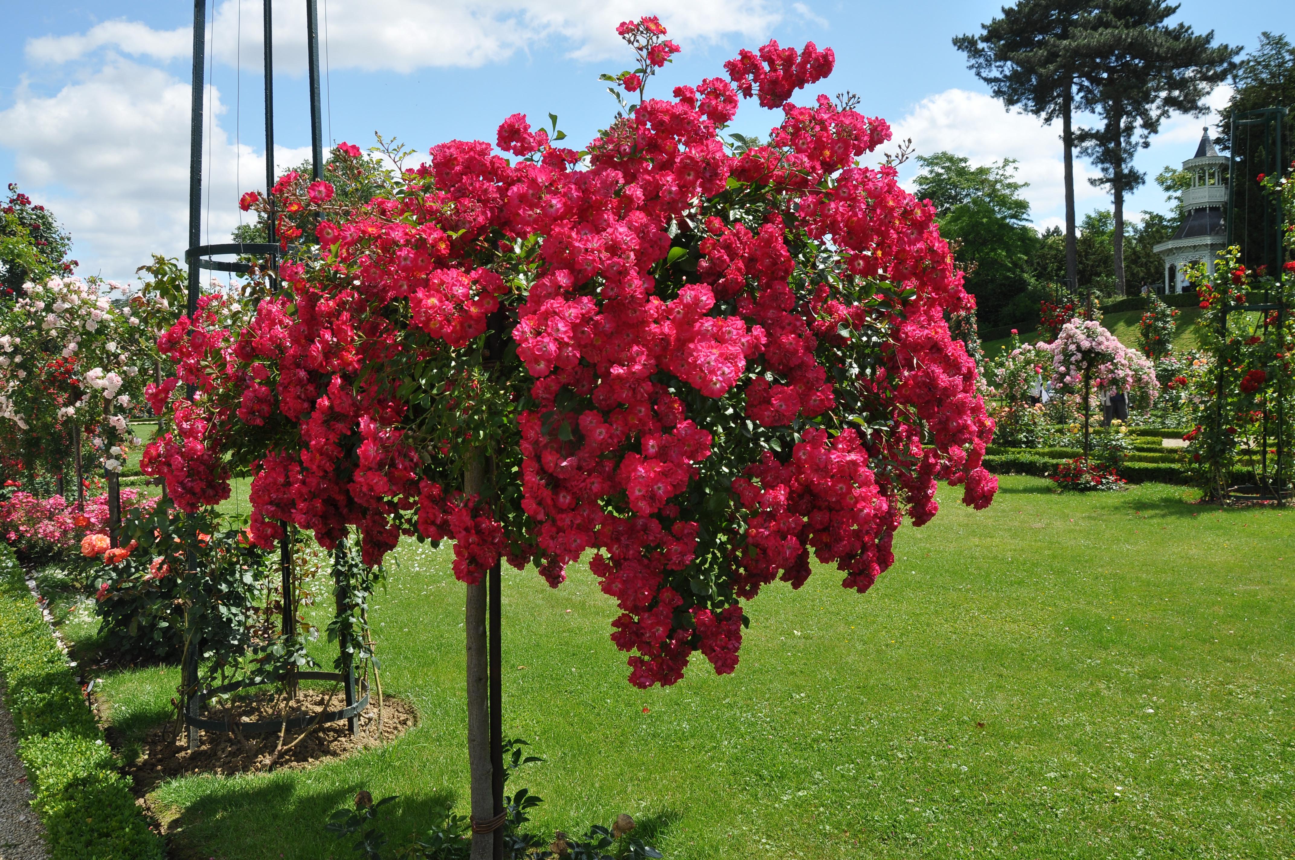 File jardin de bagatelle rosa pollux 001 jpg wikimedia for Jardin bagatelle