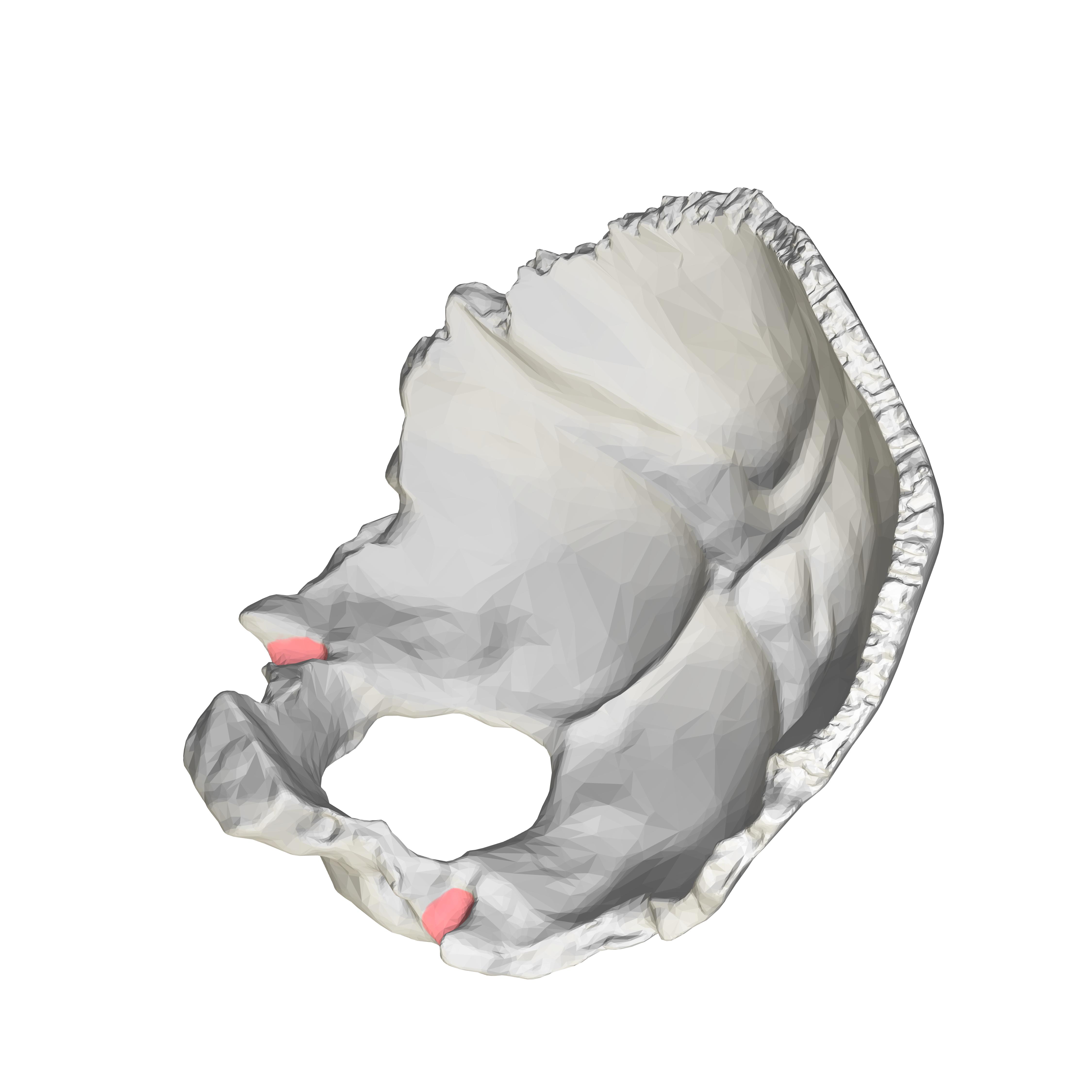 Jugular Notch Occipital Bone