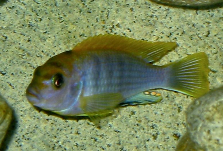 File:Labidochromis sp hongi.jpg - Wikimedia Commons