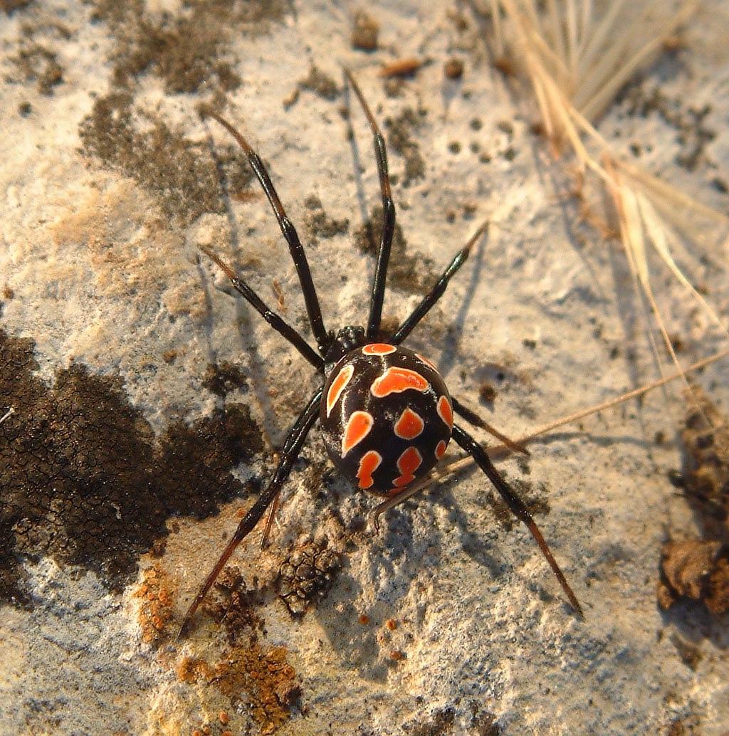 http://upload.wikimedia.org/wikipedia/commons/7/7a/Latrodectus_tredecimguttatus_female.jpg