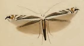 Micrurapteryx