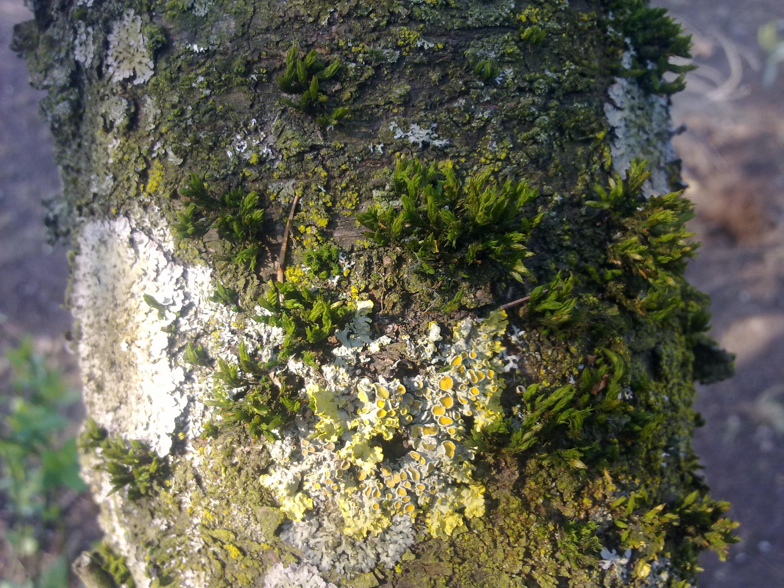 File mousse et lichen sur le tronc d 39 un arbre non - Mousse sur les arbres ...