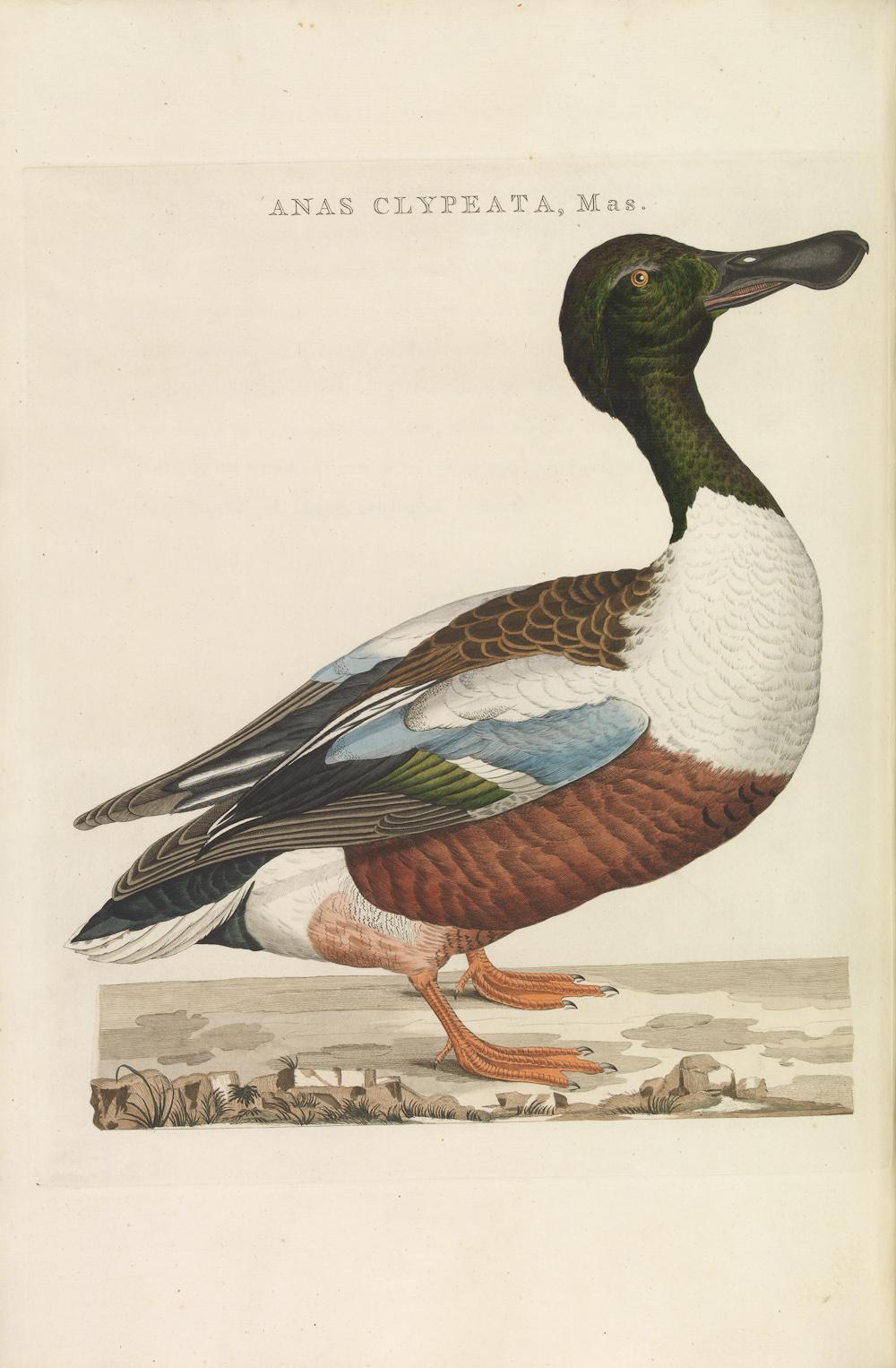 Image from ''[[Nederlandsche Vogelen