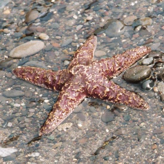 Rozgwiazdy – Wikipedia, wolna encyklopedia