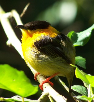 Orange Collared Manakin Wikipedia