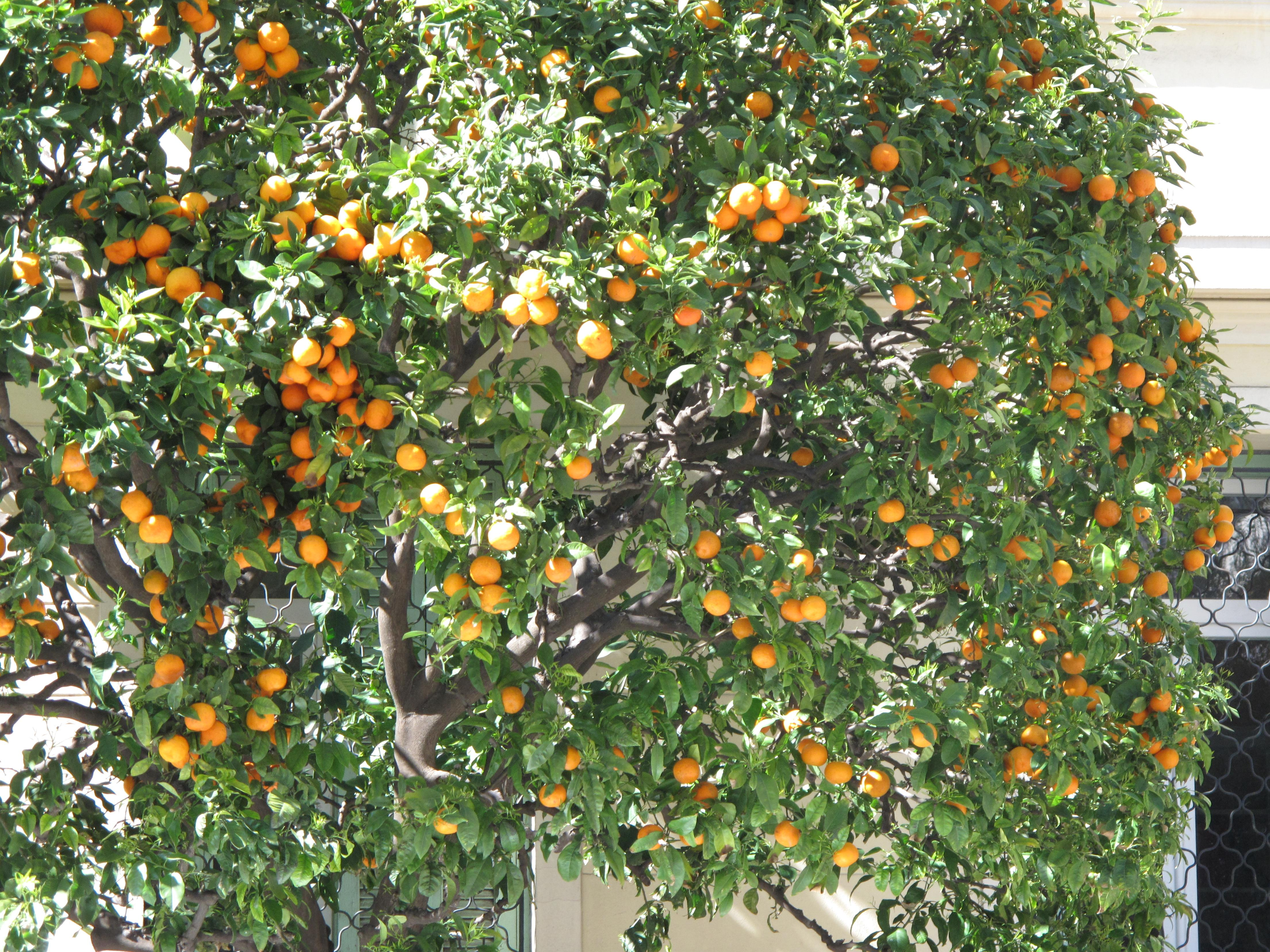 Lemon Law California >> File:Orange tree in Menton.jpg