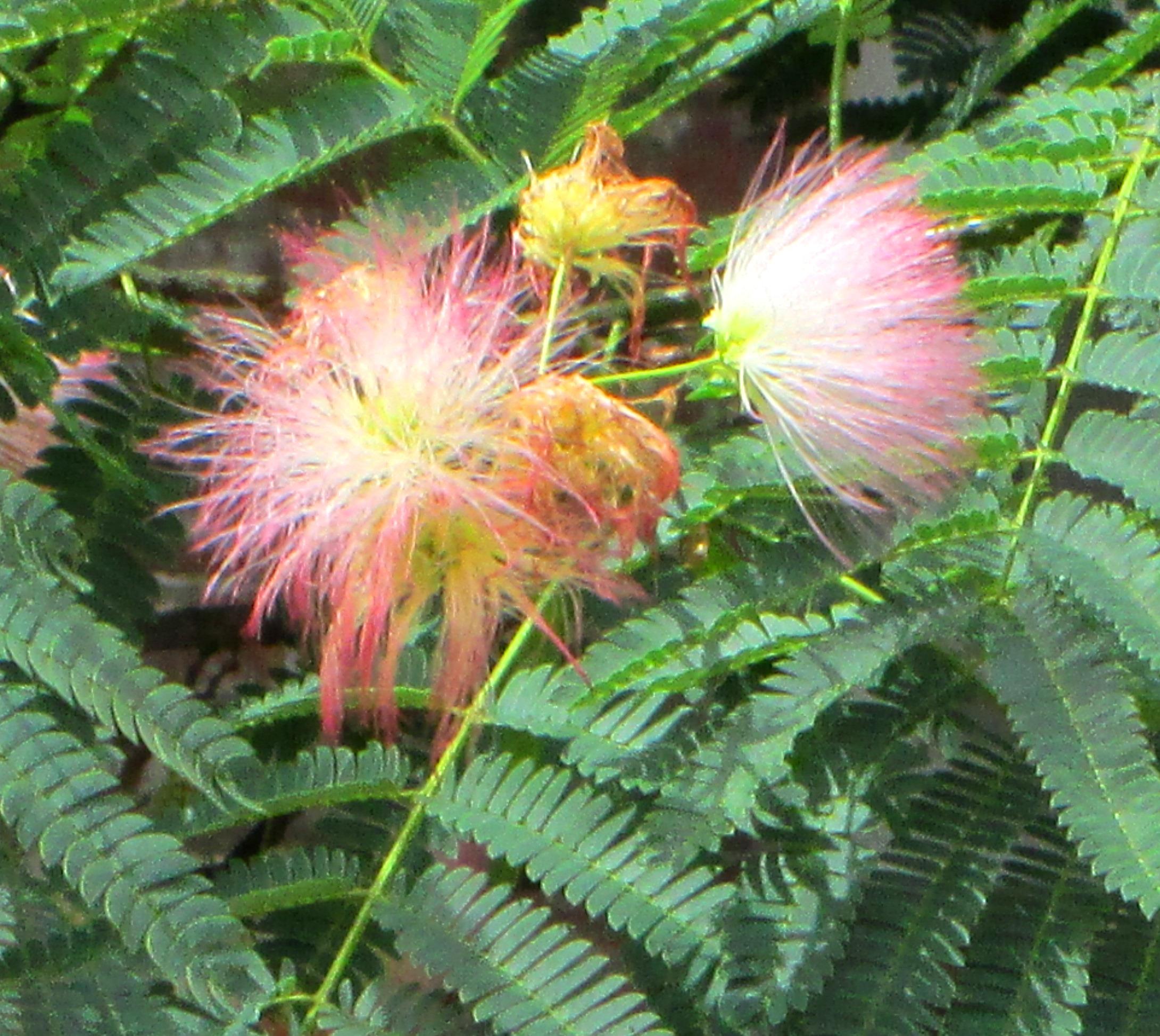 Filepersian silk tree nyc flowers closeup 2g wikimedia commons filepersian silk tree nyc flowers closeup 2g mightylinksfo