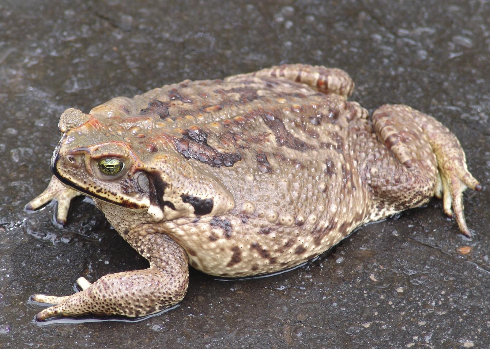 Sapo-cururu (Rhinella icterica). Os anfíbios possuem glândulas de muco | Download Scientific