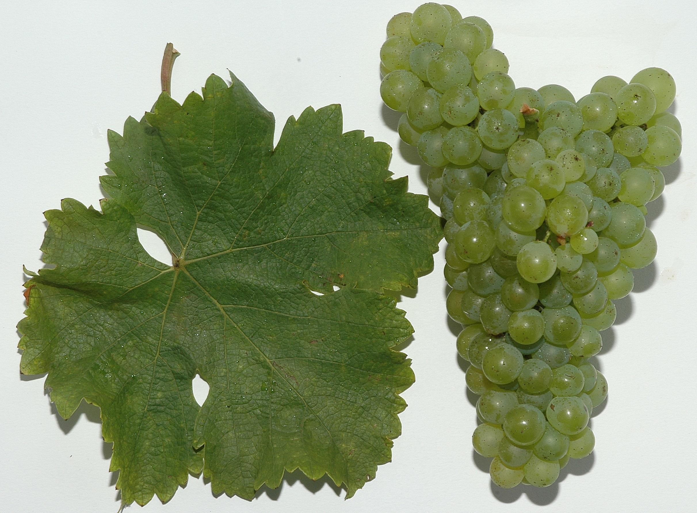 Sauvignon Blanc – Wikipedia