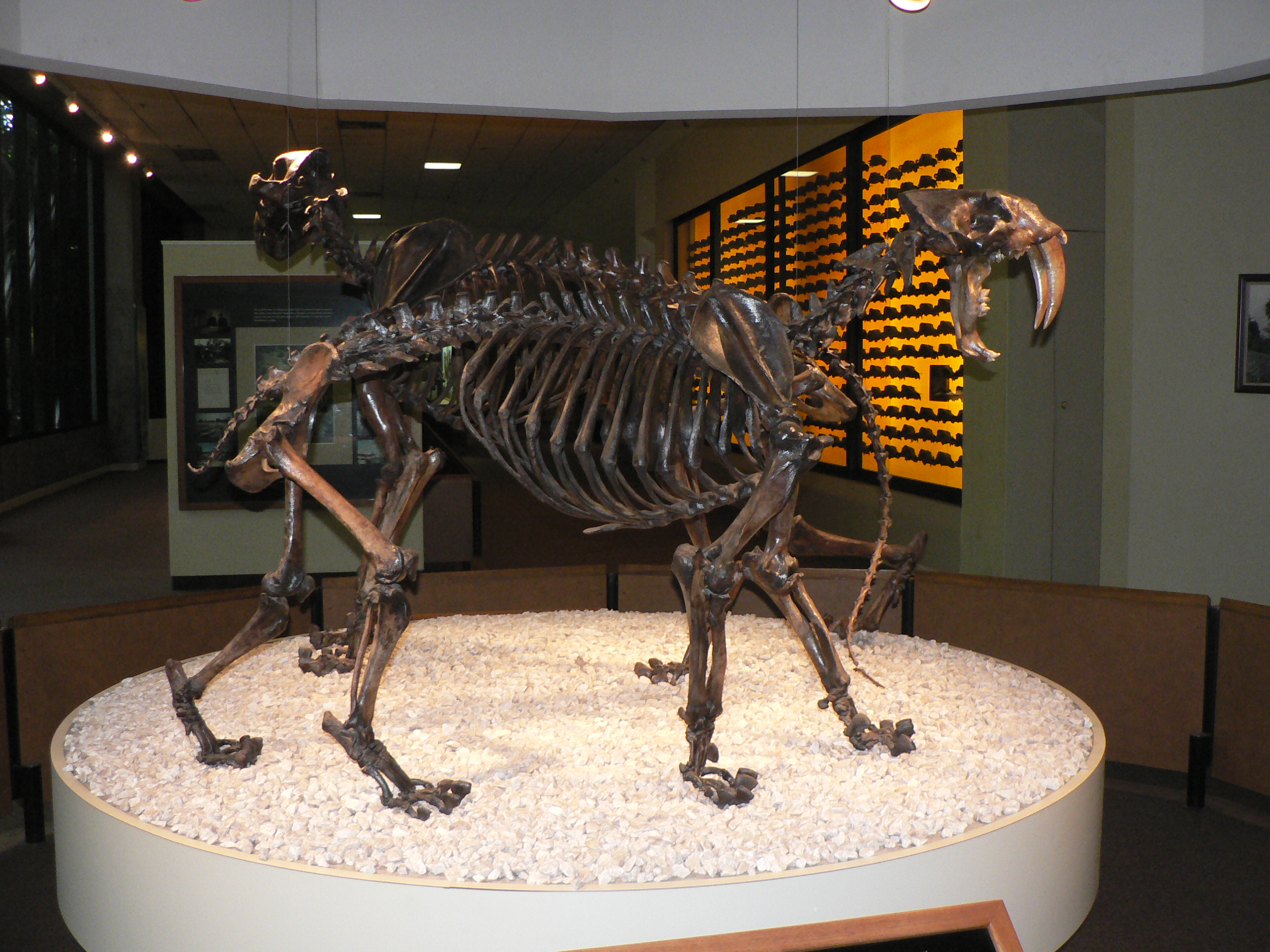 Smilodon Fossil Stock Photos & Smilodon Fossil Stock Images - Alamy