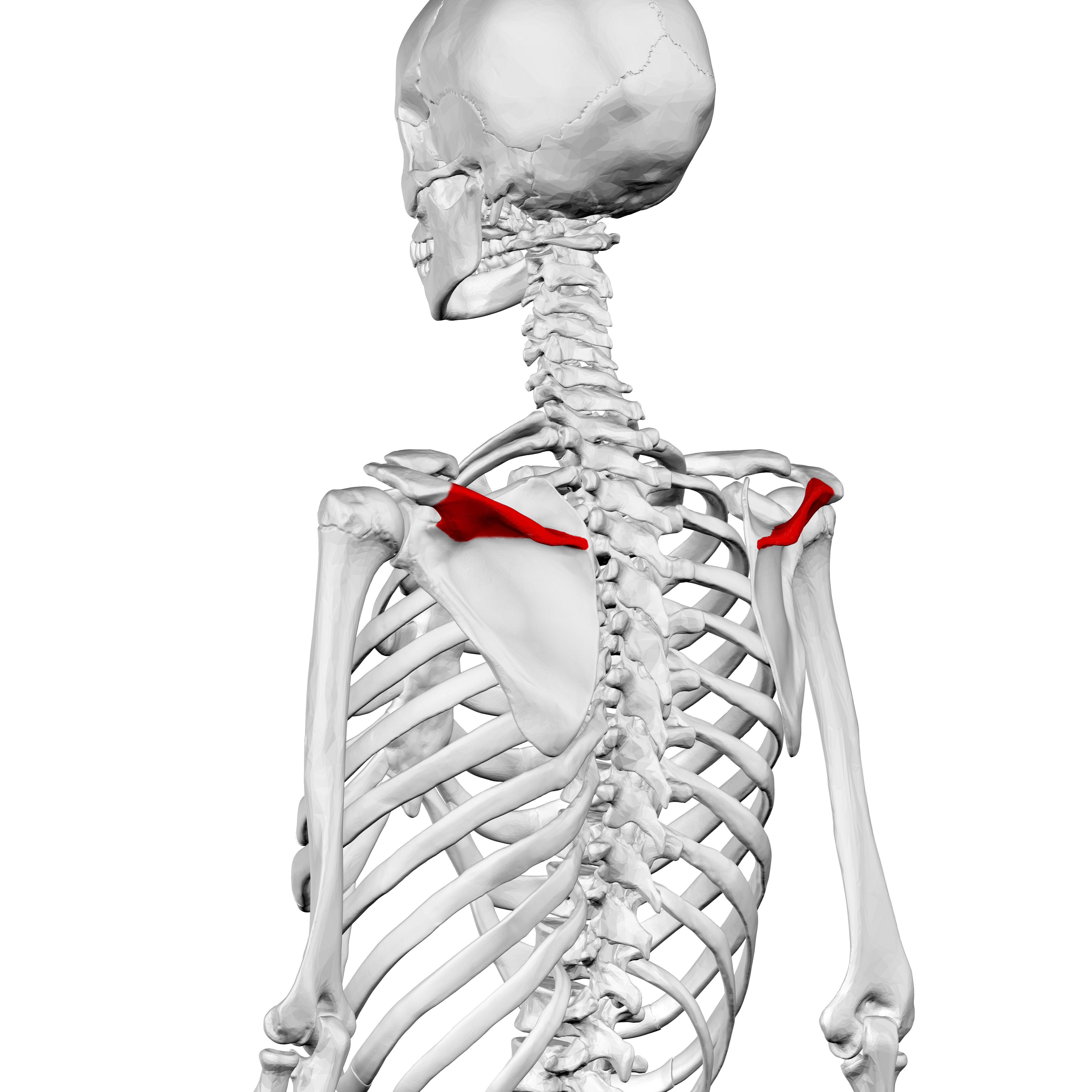 File:Spine of scapula02.png - Wikimedia Commons