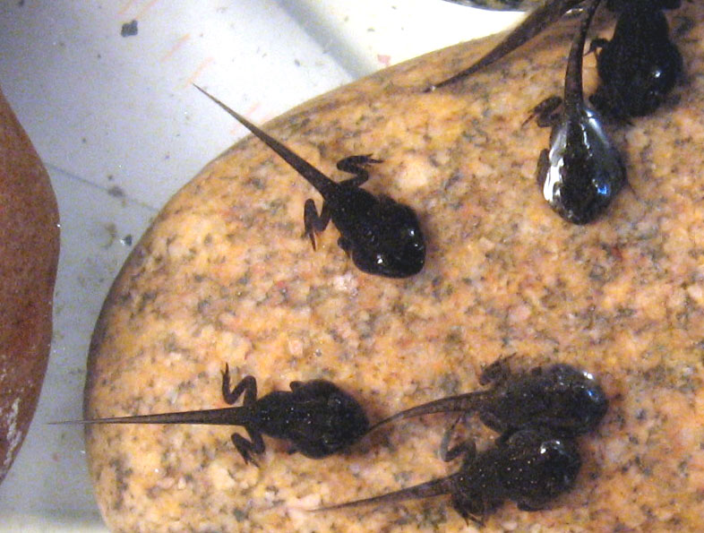 Image Result For Tadpole With Legs