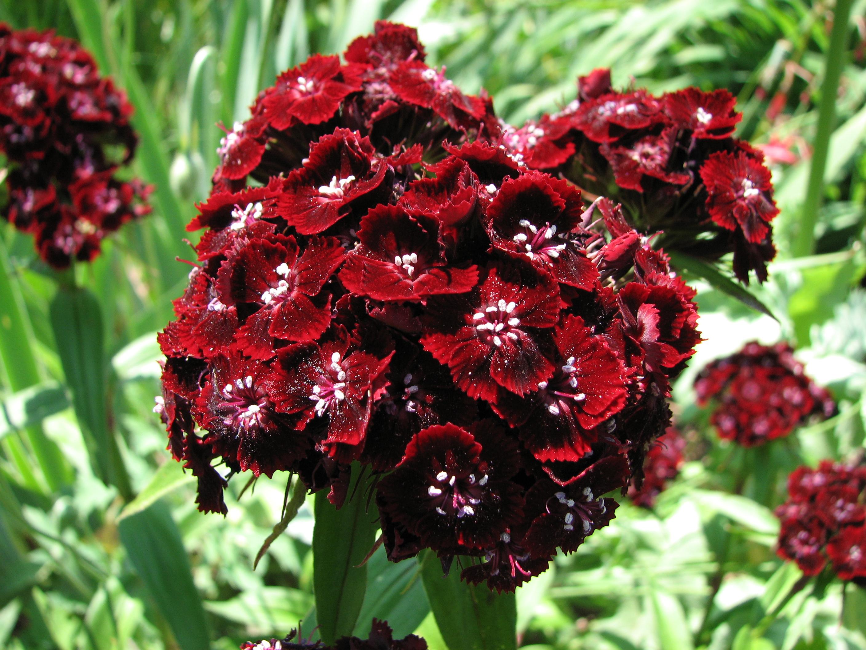 oeillet des poetes fleur rouge