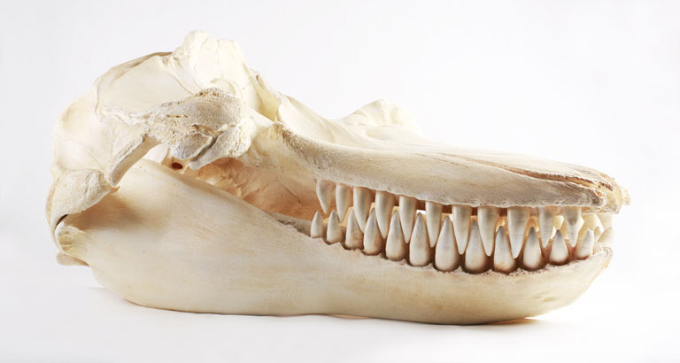 File:The Childrens Museum of Indianapolis - Killer whale skull cast.jpg