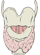 English: Thyroid Gland