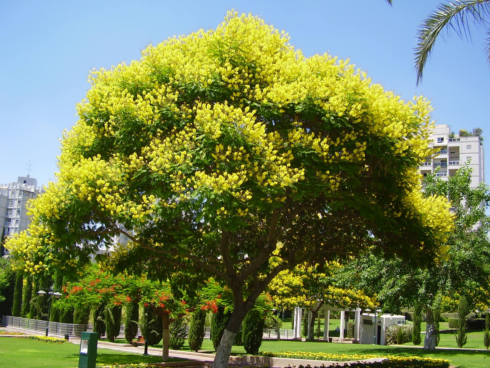 Peltophorum dubium wikiwand for Arboles de hoja perenne que crece rapido