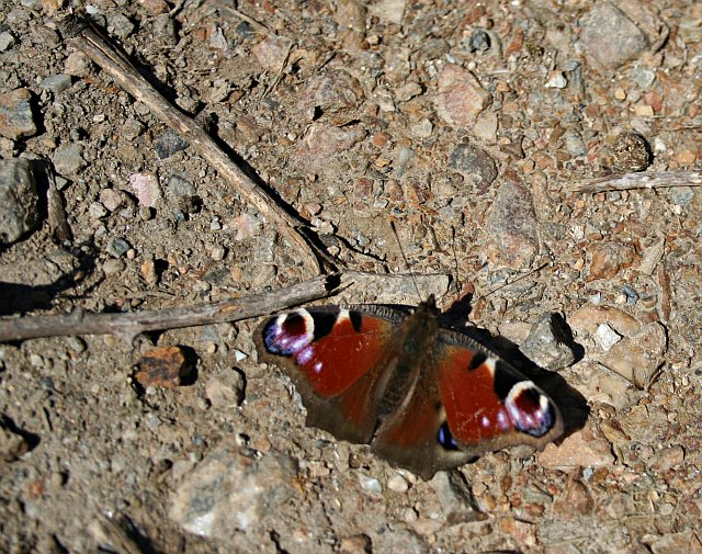 File:A Peacock Butterfly - geograph.org.uk - 148018.jpg