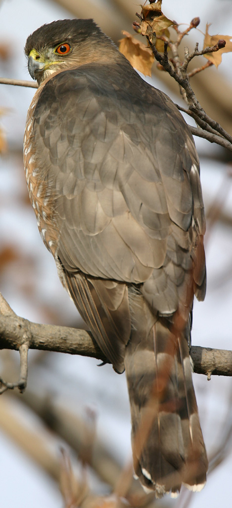 Coopers Hawk Wikipedia