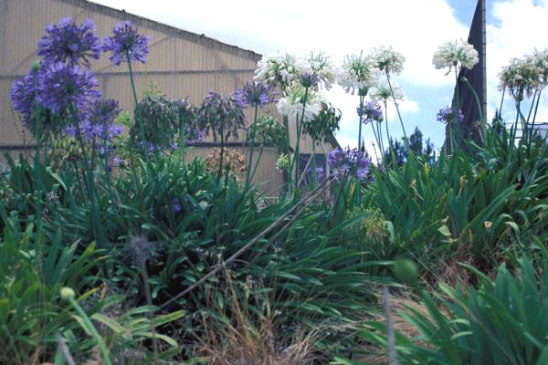 Purple and white agapanthus