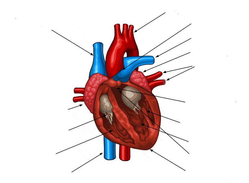 Human heart diagram no labels auto electrical wiring diagram file anatomical plate of the heart no labels png wikimedia commons rh commons wikimedia org human ccuart Image collections