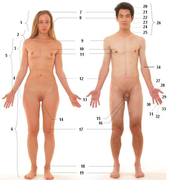 Anterior view of human female and male, numbered labels.JPG