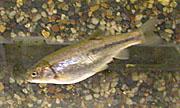 Arroyo chub Species of fish