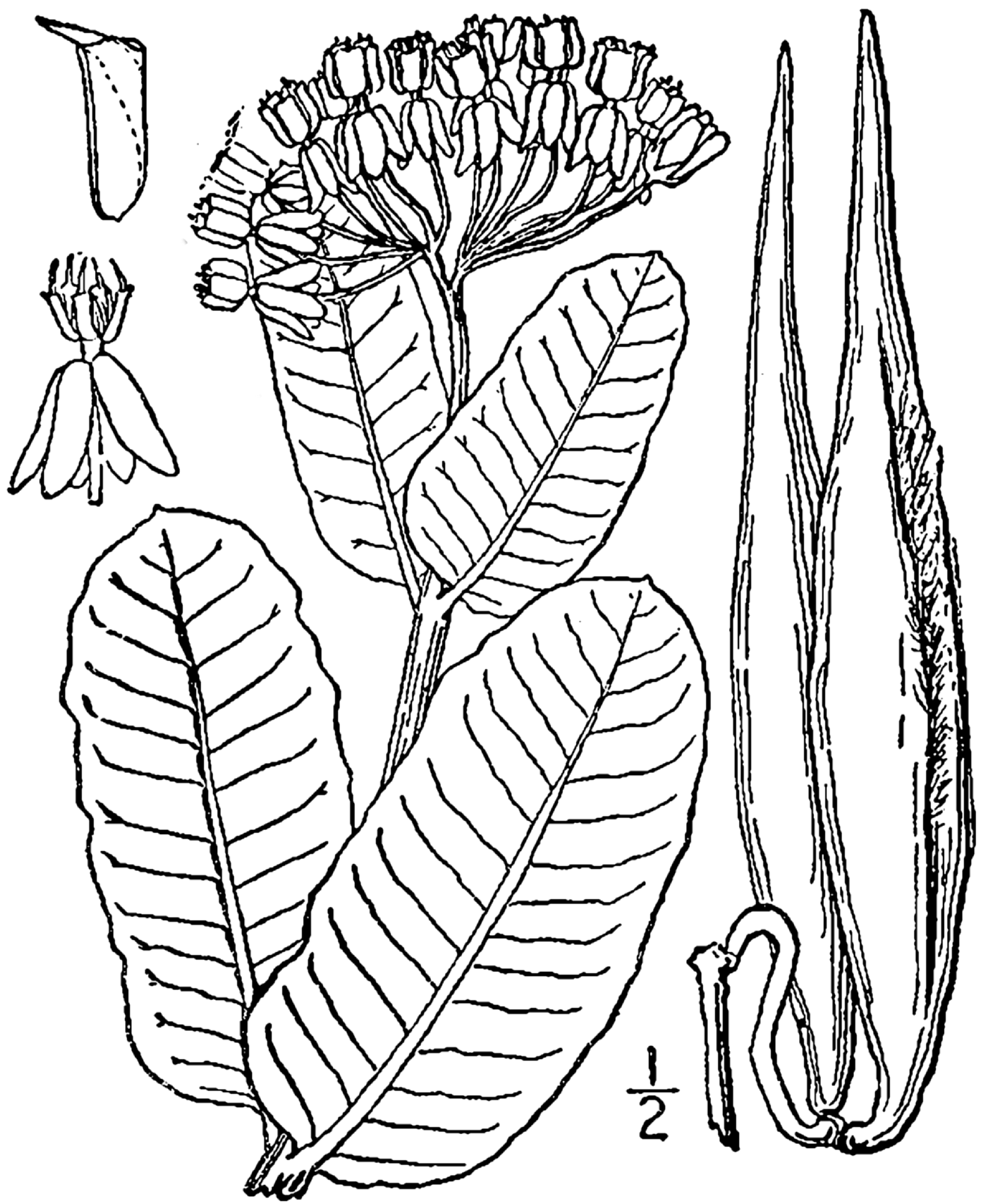 Line Drawing Wikipedia : File asclepias amplexicaulis wikimedia commons