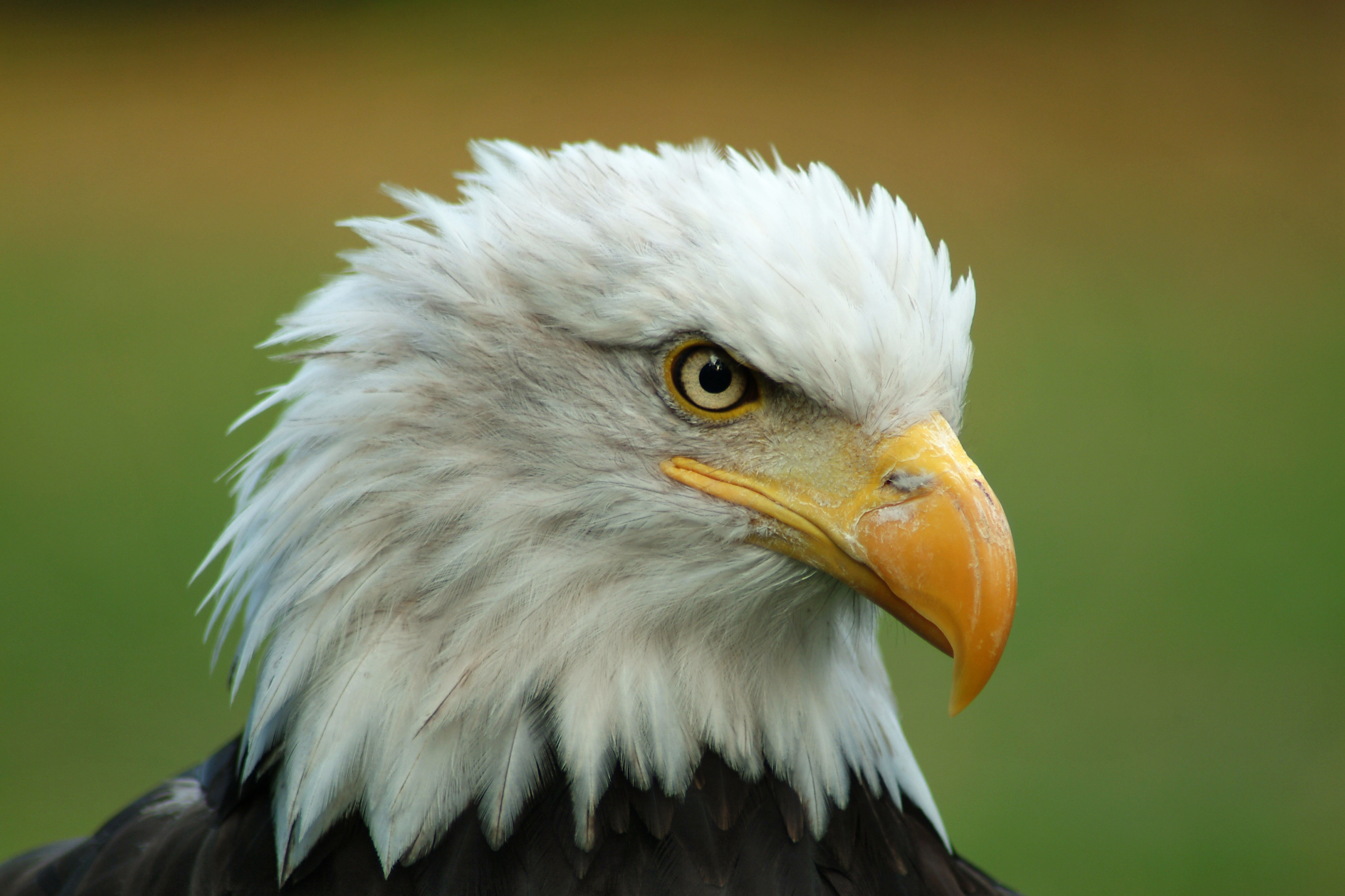 File:Bald Eagle Head.jpg - Wikimedia Commons