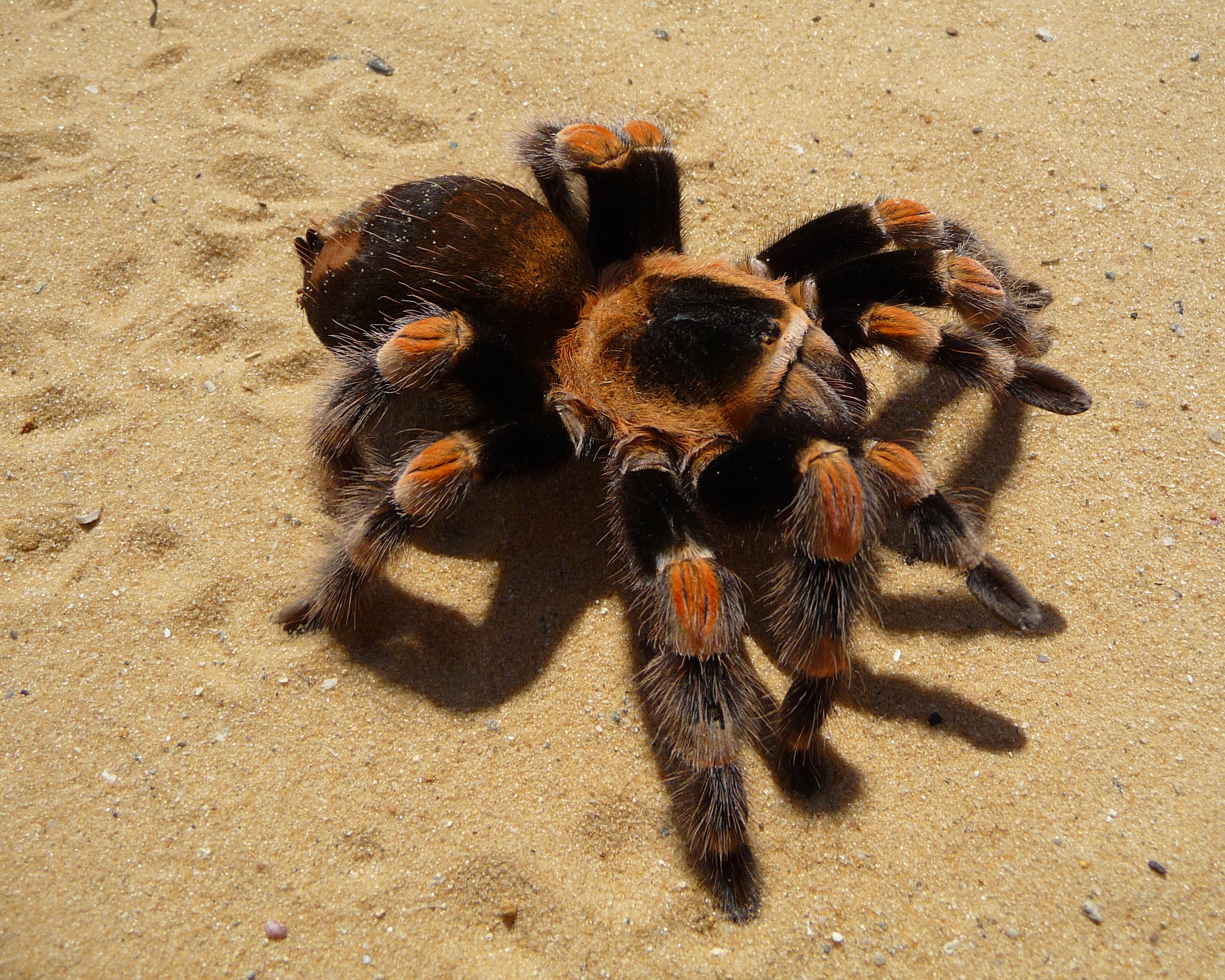 chypelma hamorii - Wikipedia on map where do tarantula, how long do tarantulas live, map of where camels are from, where do tarantulas live, map where do lizards live on a glass, map of brown recluse spiders in the us, map of arkansas, were tarantula live, map where do praying mantis live, map of mississippi natural resources, maps of where the brown widows live, map of tarantulas in us, map of tarantula hawk wasp,