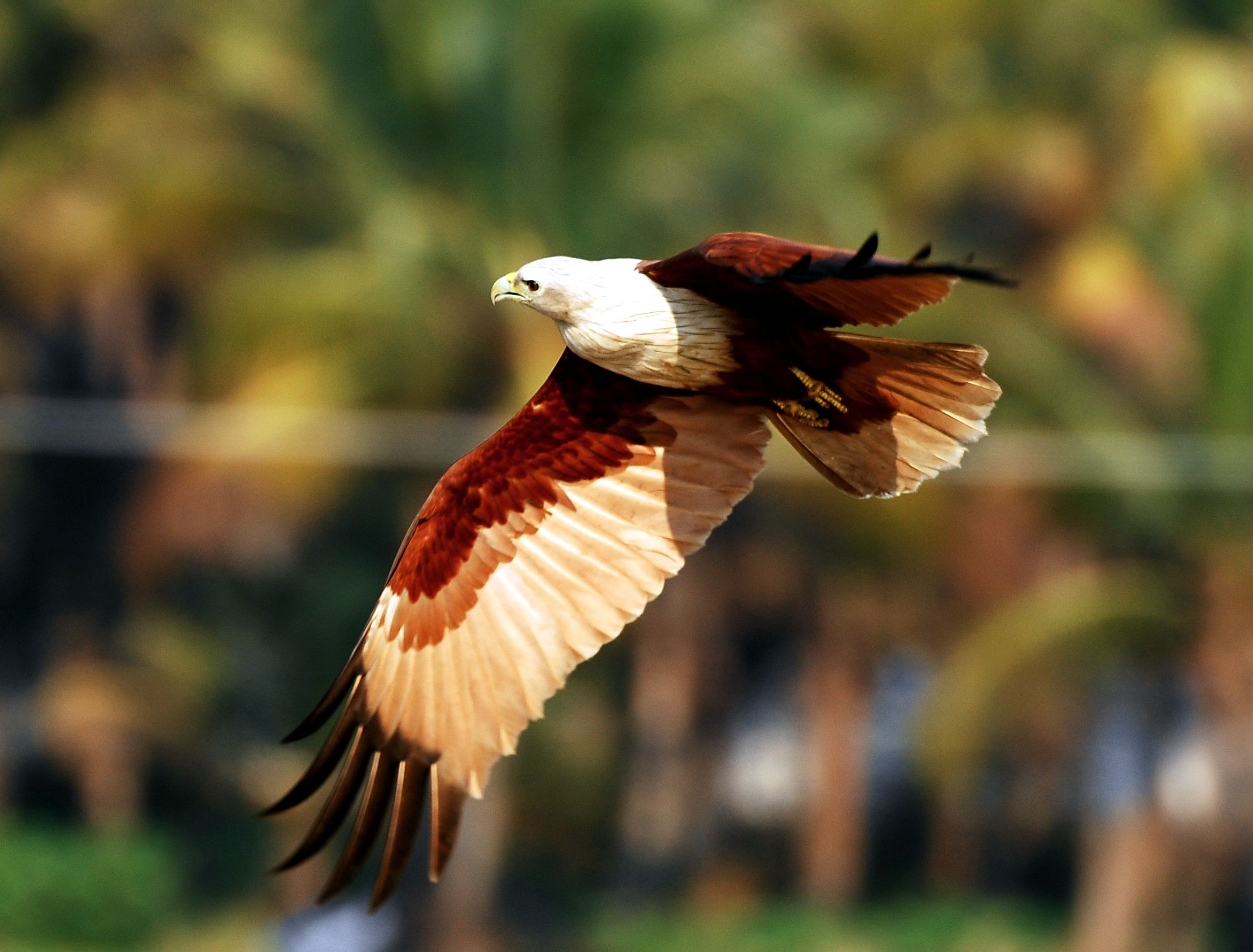 The brahminy kite (Haliastur indus) is identified with Garuda, the mythical mount of Vishnu. It hunts for fish and other prey near the coasts and around inland wetlands.