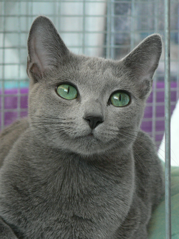 Russian Blue Cat Boise