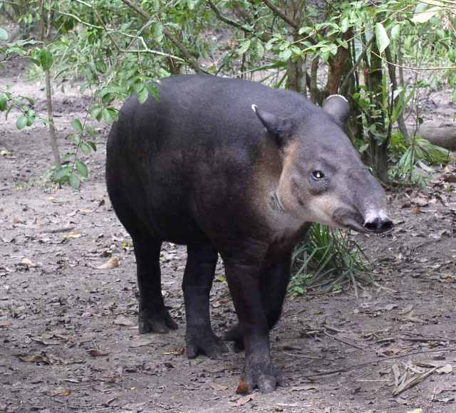 Central American Tapir Belize20 Costa Rica Wildlife   9 Reasons the Bairds Tapir has Changed Its Behavior