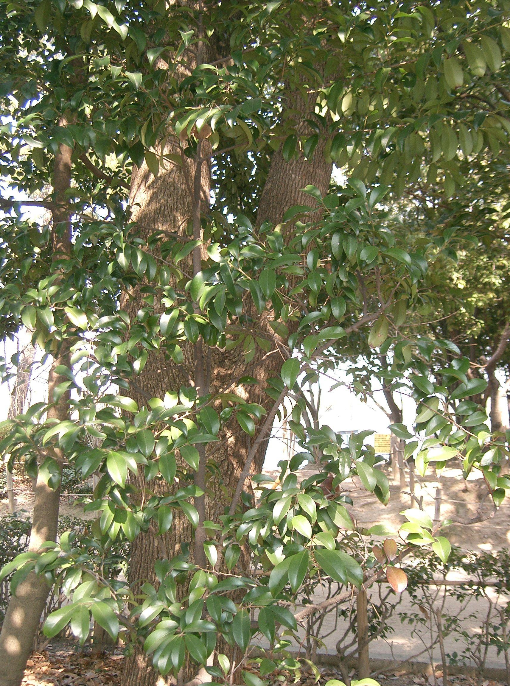 Albero Con Bacche Rosse cleyera japonica - wikipedia
