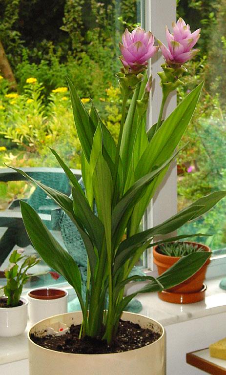 curcuma curcuma longa tumeric turmeric zedoary zedoaria. Black Bedroom Furniture Sets. Home Design Ideas