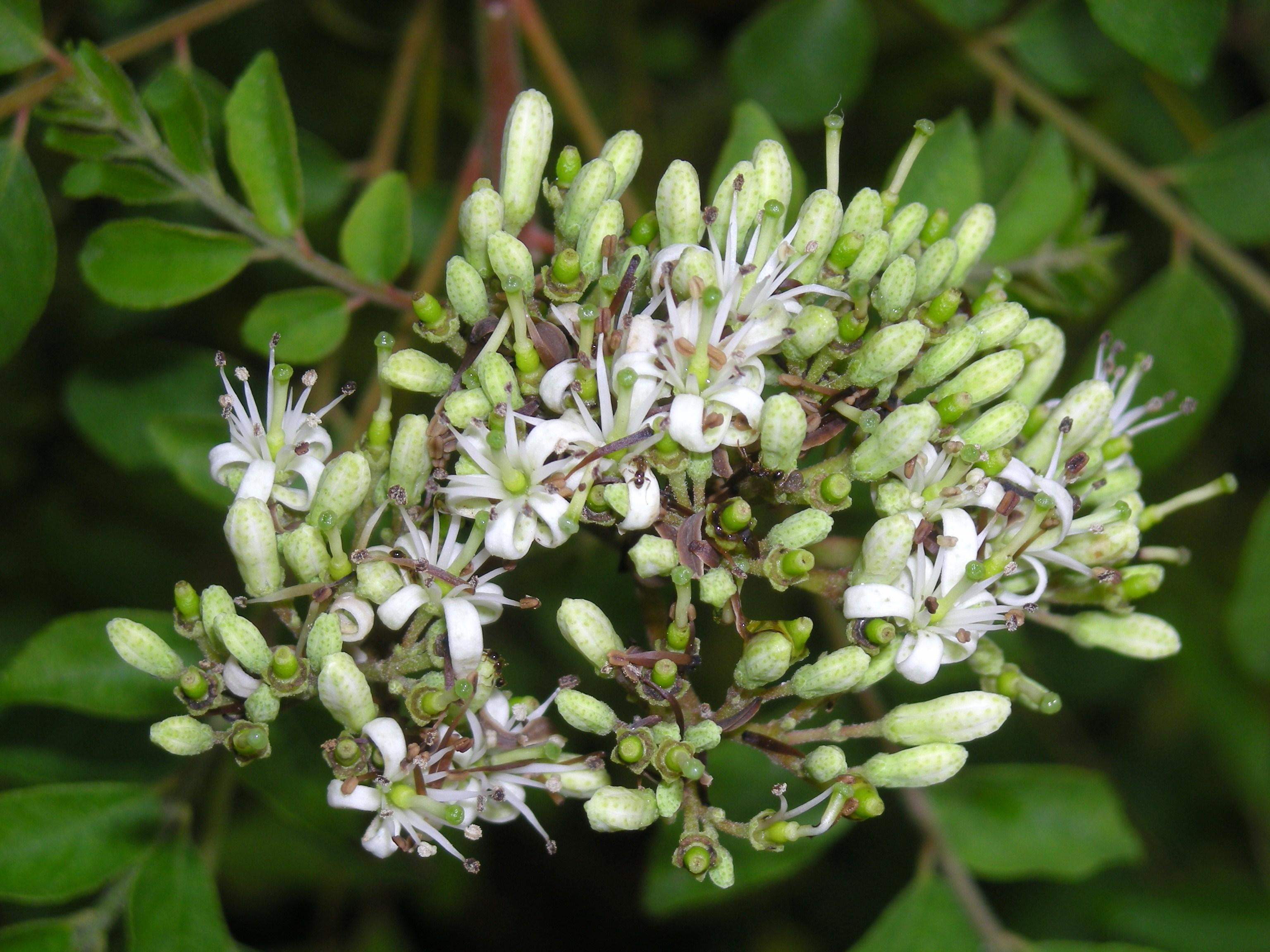 File Curry Tree flower JPG Wikimedia mons