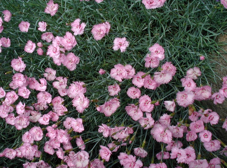 Image Gallery dianthus plumarius