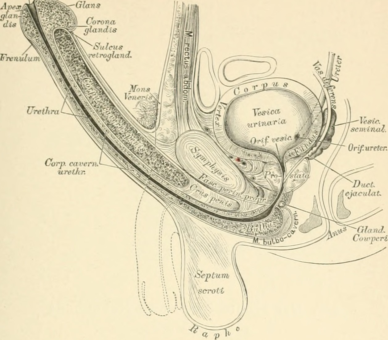 File:Die descriptive und topographische Anatomie des Menschen (1896 ...