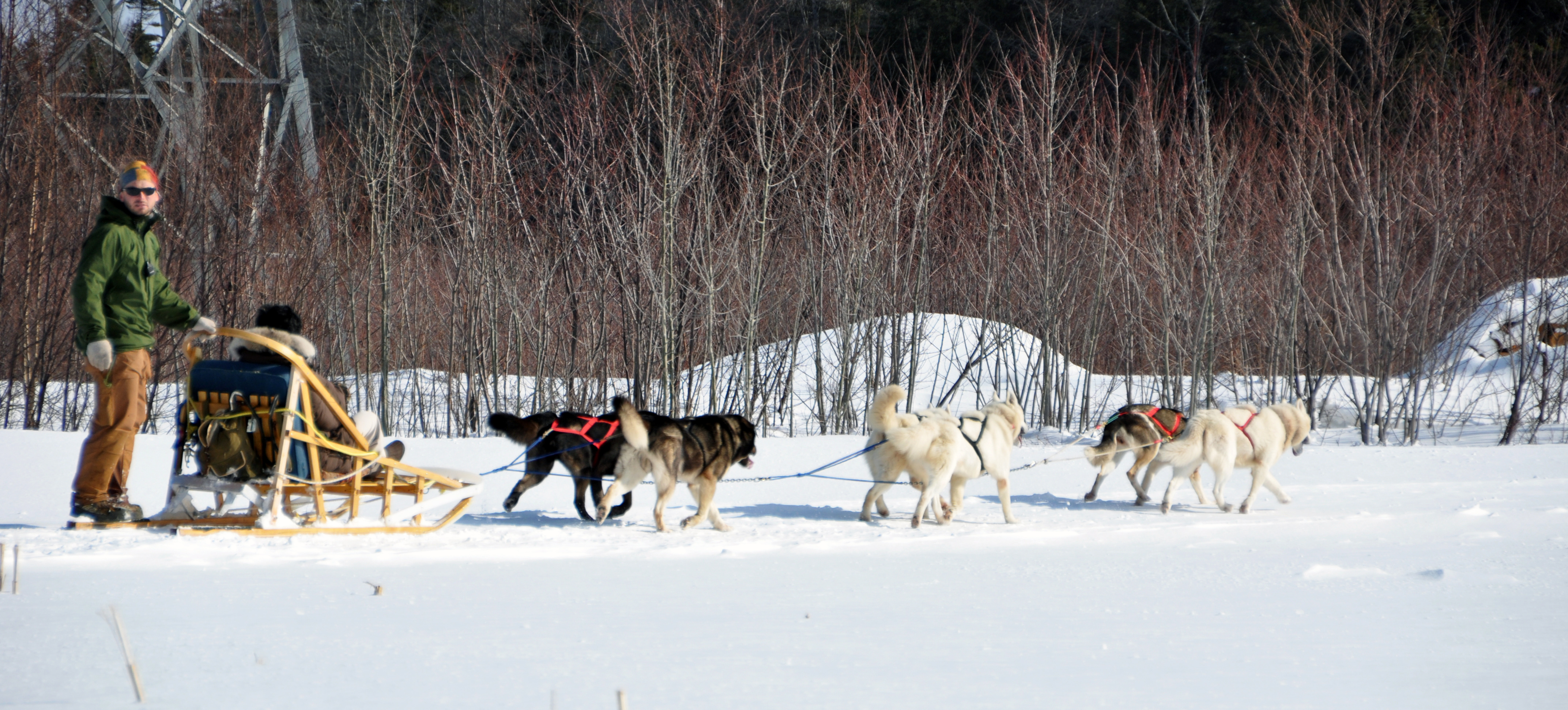 Video Dogs On Sleds Winter