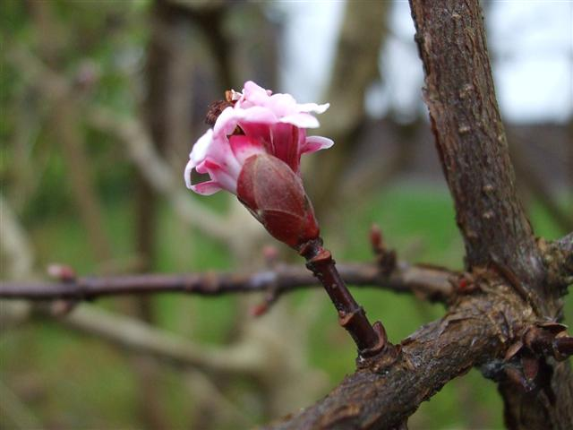 Pink bud on tree