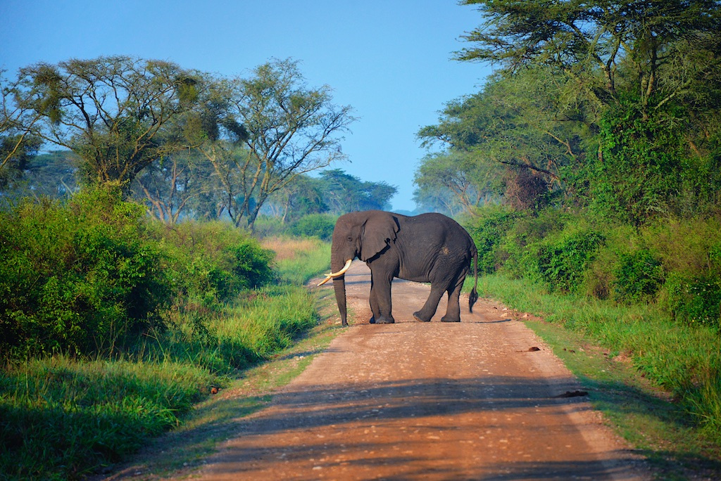 Elephant Crossing, Uganda (15679399598).jpg