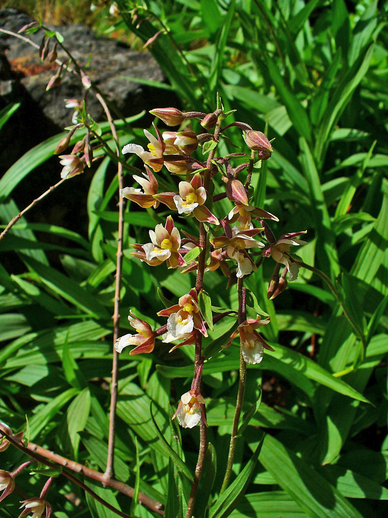 http://upload.wikimedia.org/wikipedia/commons/7/7b/Epipactis_palustris_002.JPG